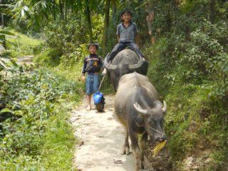 Bambini vietnamiti portano i bufali al pascolo