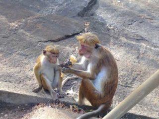 Scimmiette a Dambulla