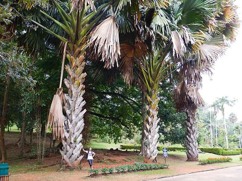 Cose da vedere in Sri Lanka: giardino botanico reale di Peradeniya