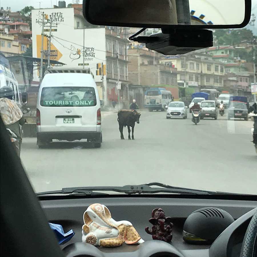 Mucca che dorme in mezzo alla strada • 10 curiosità sul Nepal